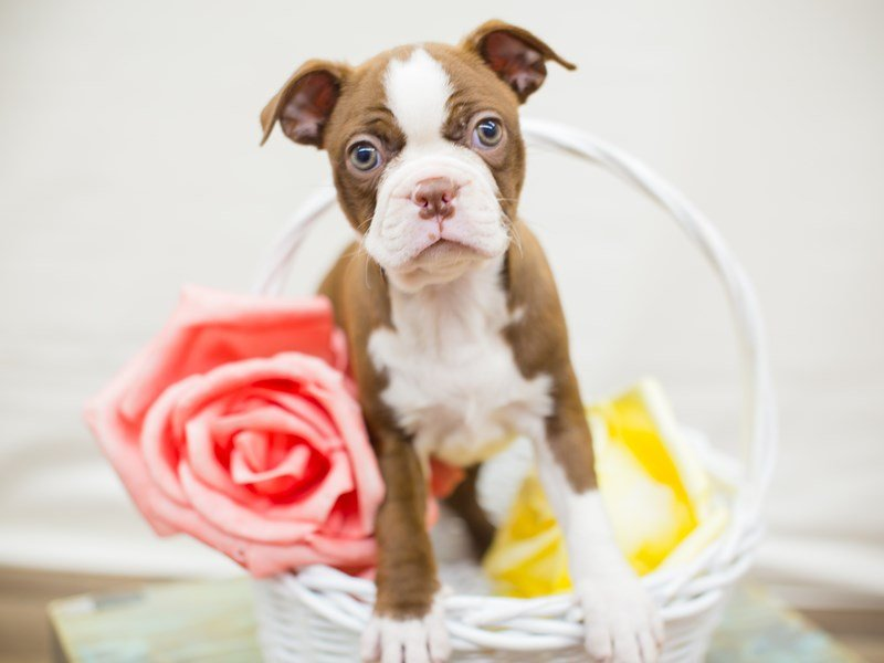 Boston Terrier-Female-SEAL & WHITE-2342454-Petland Wichita, KS