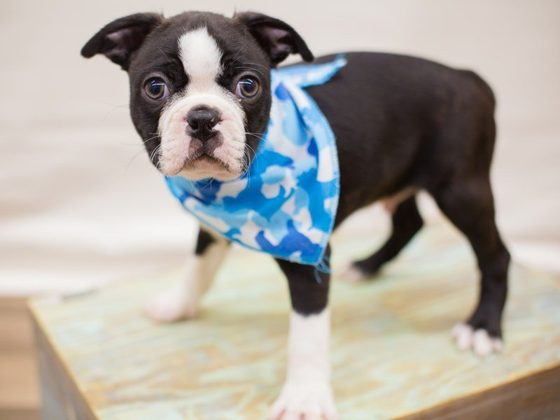 Boston Terrier-Male-BLACK BRINDLE & WHITE-2342387-Petland Wichita, KS