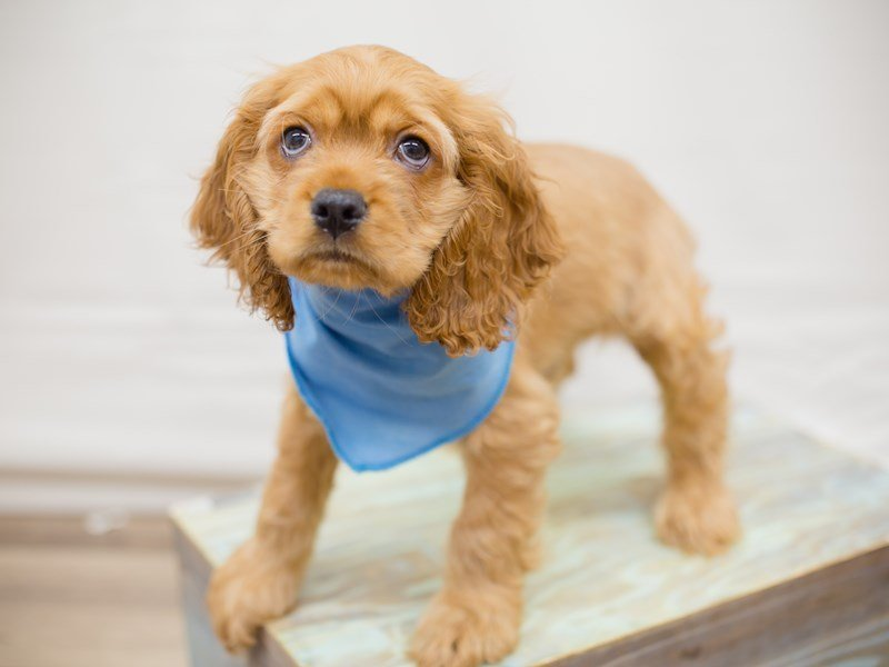 Cocker Spaniel-Male-BUFF-2342262-Petland Wichita, KS