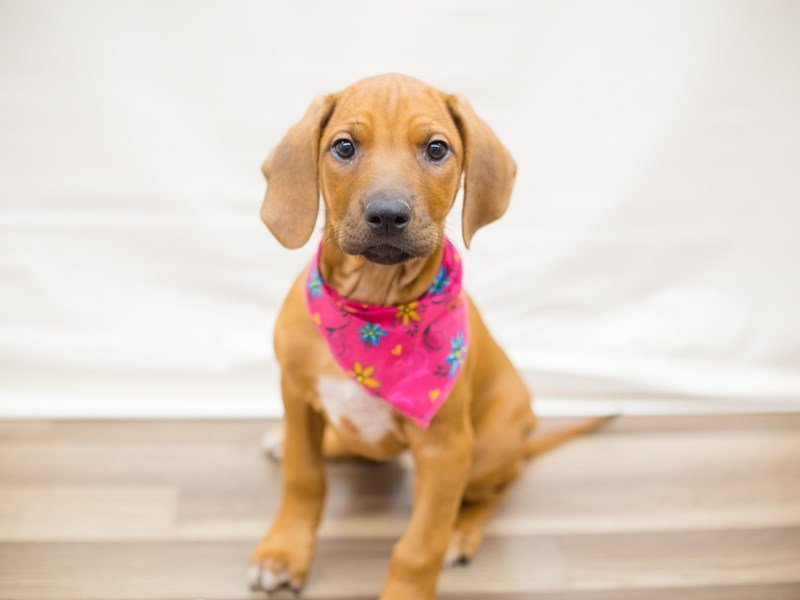 Rhodesian Ridgeback-Female-RED WHEATEN-2342365-Petland Wichita, KS