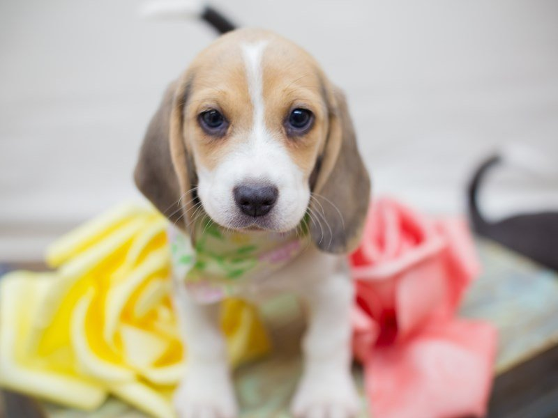 Beagle-Female-BLUE AND WHITE-2342232-Petland Wichita, KS