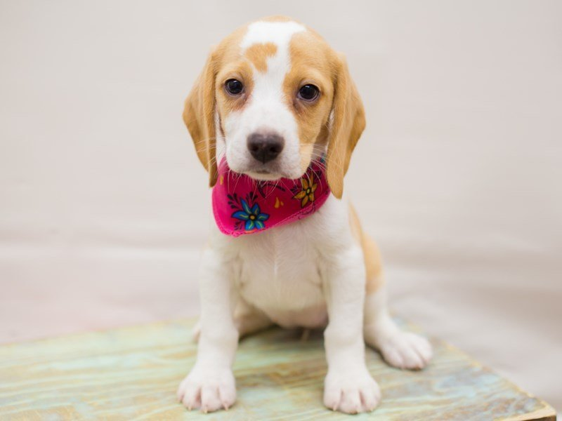 Beagle-Female-Lemon & White-2342184-Petland Wichita, KS