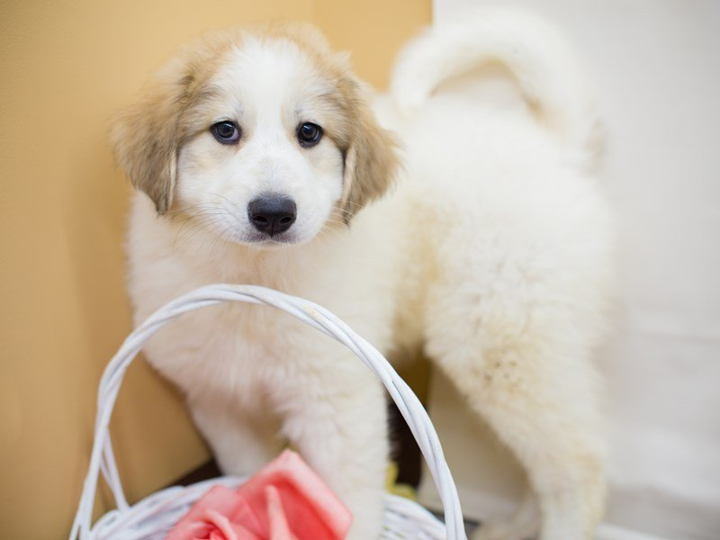 Great Pyrenees-Female-White-2340743-Petland Wichita, KS