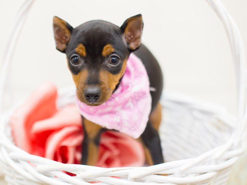 Miniature Pinscher-DOG-Female-Black and Tan-2340673-Petland Wichita, KS