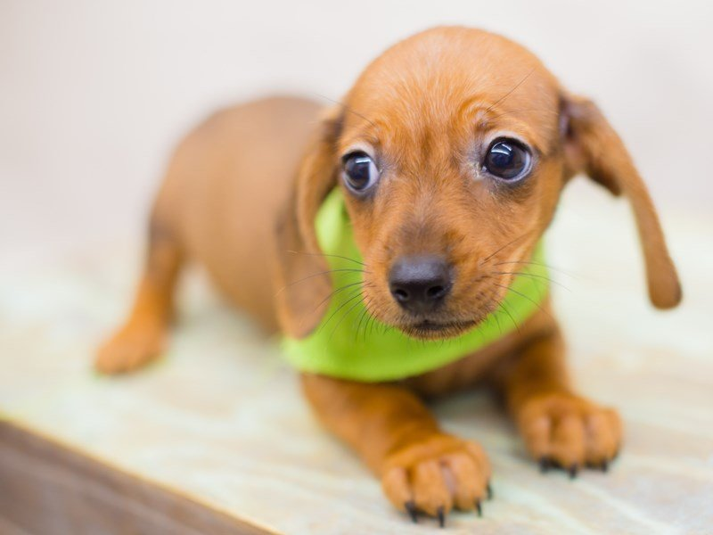 Miniature Dachshund-Male-RED-2346788-Petland Wichita, KS