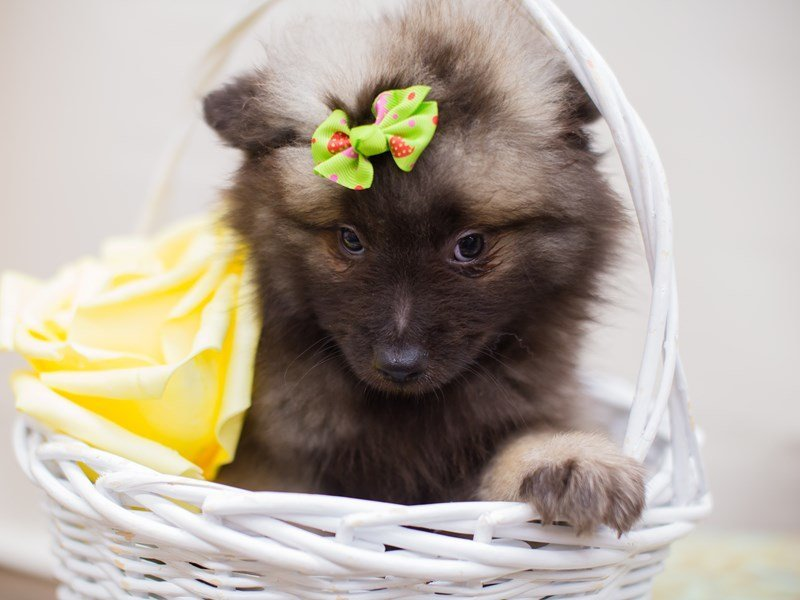 Keeshond-Female-wolf sable-2347571-Petland Wichita, KS