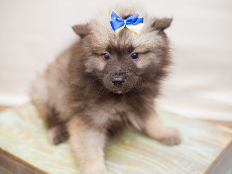Keeshond-Female-wolf sable-2347581-Petland Wichita, KS