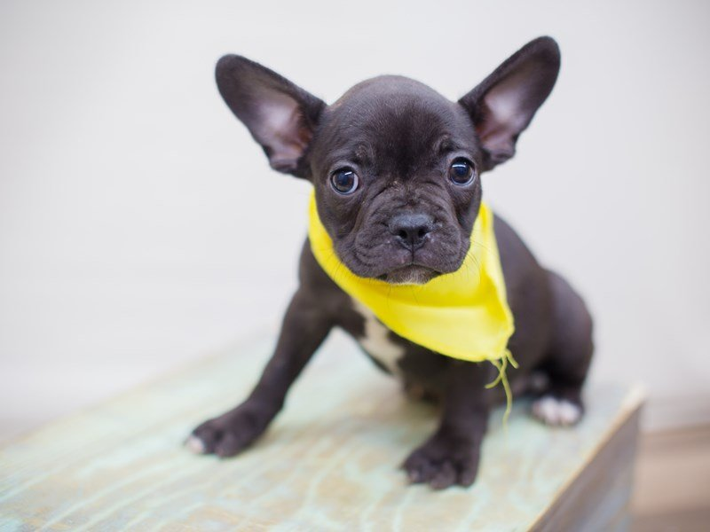 Frenchton-Male-Black Brindle-2353399-Petland Wichita, KS