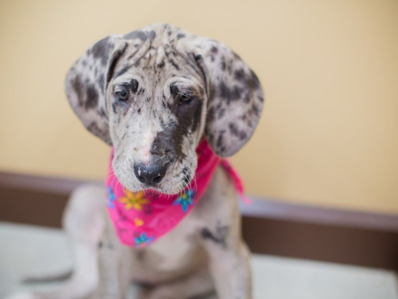 Great Dane-Female-Blue Merle-2353305-Petland Wichita, KS