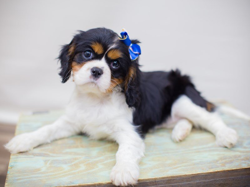 Cavalier King Charles Spaniel-Female-TRI-2353062-Petland Wichita, KS