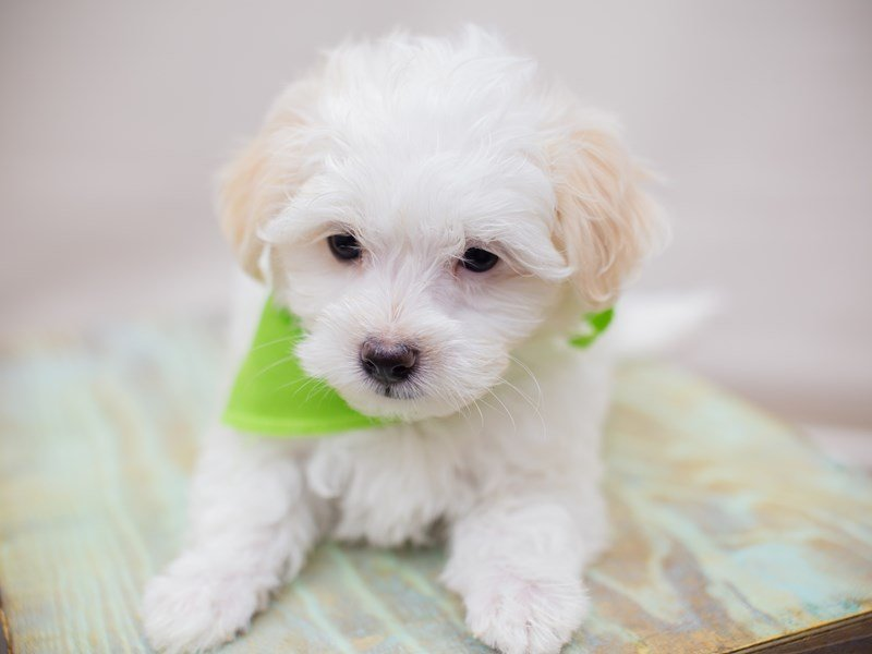 Maltipoo-Male-White-2352988-Petland Wichita, KS