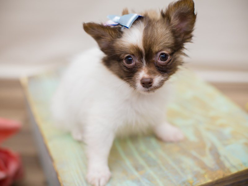 Chipom-Female-Chocolate Mask-2352974-Petland Wichita, KS