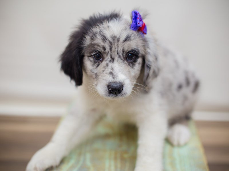 Aussiedoodle-Female-Blue Merle-2352853-Petland Wichita, KS