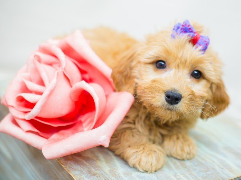 Miniature Goldendoodle-Female-Red-2352848-Petland Wichita, KS