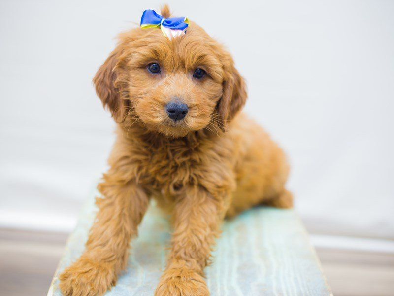 Miniature Goldendoodle-Female-Red-2352845-Petland Wichita, KS