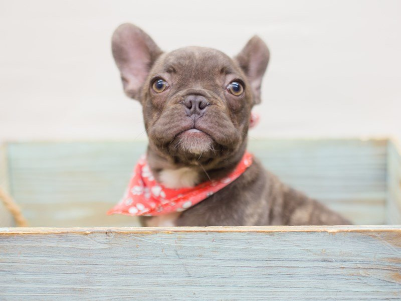 French Bulldog-Male-Brindle-2353416-Petland Wichita, KS