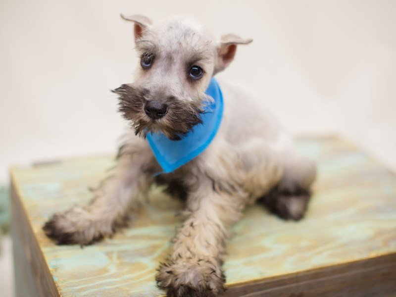 Miniature Schnauzer-Male-Salt & Pepper-2363798-Petland Wichita, KS