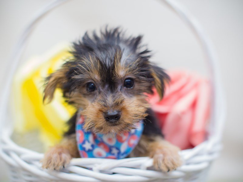 Morkie-Male-Black and Tan-2311151-Petland Wichita, KS