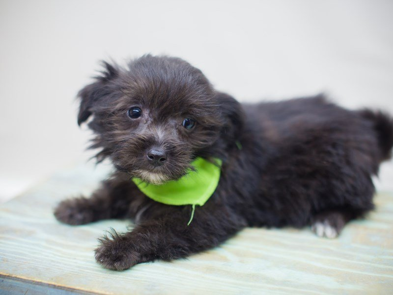 Havanese-Male-Black-2311155-Petland Wichita, KS