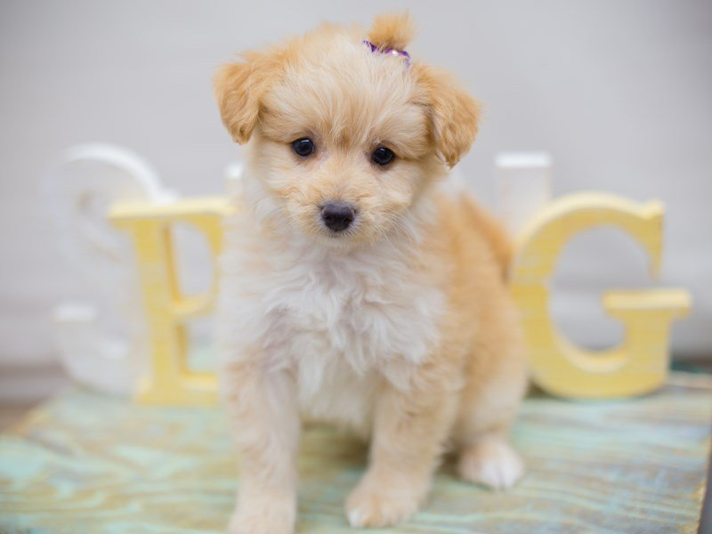 Toy Pompoo-Female-Blonde-2331690-Petland Wichita, KS