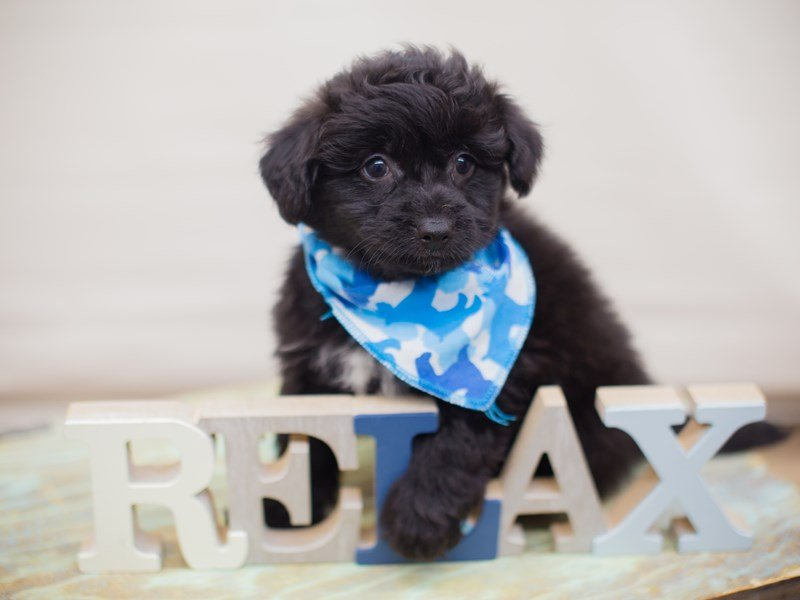 Toy Pompoo-Male-Black-2331687-Petland Wichita, KS