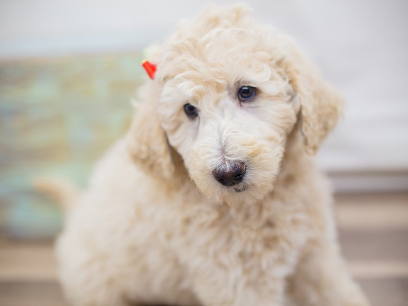 F1B Goldendoodle-Female-apricot-2331641-Petland Wichita, KS