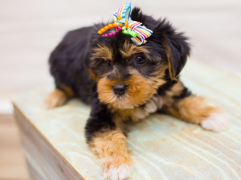 Yorkshire Terrier-Female-Black and Tan-2342629-Petland Wichita, KS