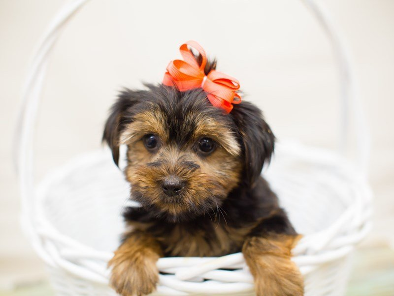 Yorkshire Terrier-Female-Black and Tan-2342620-Petland Wichita, KS
