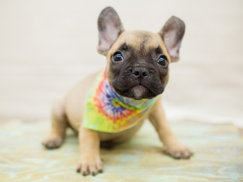 French Bulldog-Male-Fawn-2342609-Petland Wichita, KS