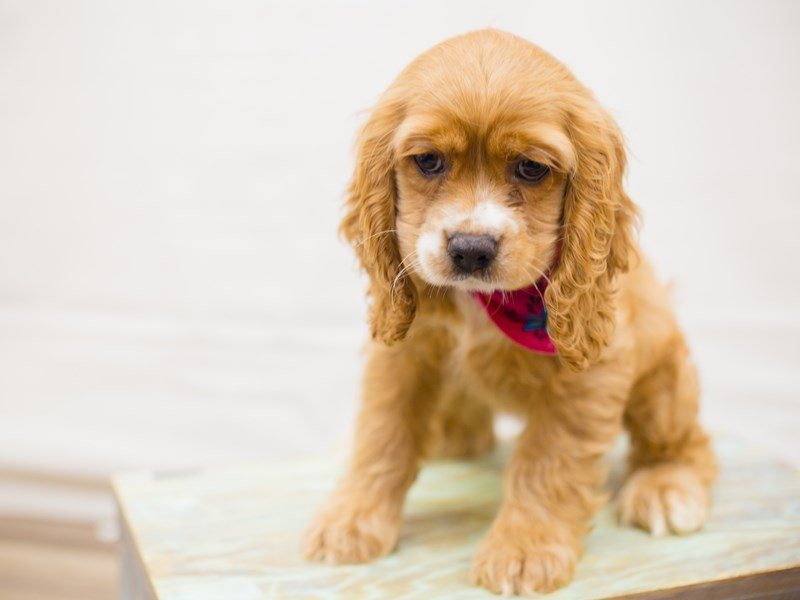 Cocker Spaniel-Female-BUFF-2342310-Petland Wichita, KS