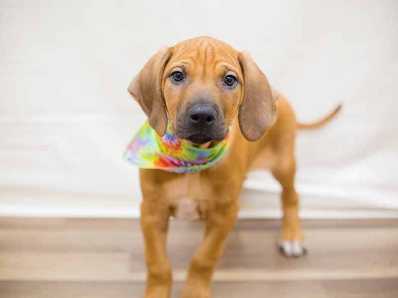 Rhodesian Ridgeback-Male-RED WHEATEN-2342324-Petland Wichita, KS