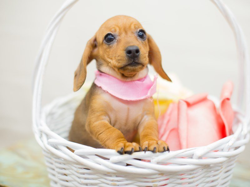 Miniature Dachshund-Female-RED-2346791-Petland Wichita, KS