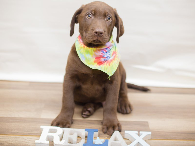 Labrador Retriever-Male-CHOCOLATE-2346794-Petland Wichita, KS