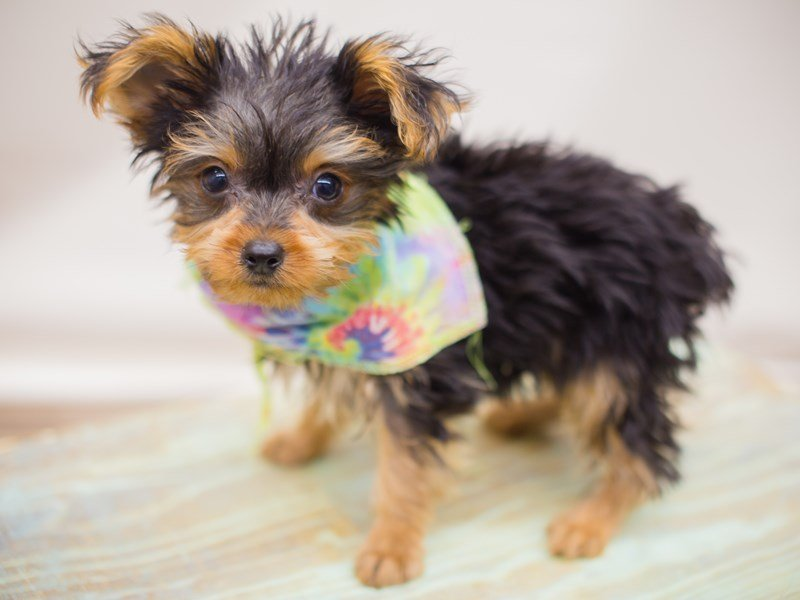 Yorkshire Terrier-Male-Black and Tan-2353368-Petland Wichita, KS