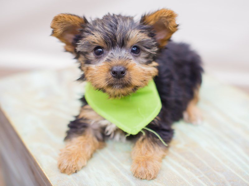 Yorkshire Terrier-Male-Black and Tan-2353366-Petland Wichita, KS