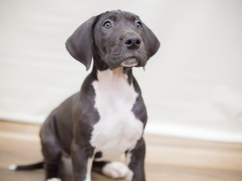 Great Dane-Male-Black Mantle-2353294-Petland Wichita, KS