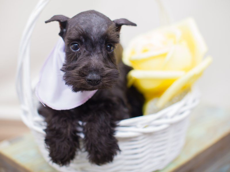 Miniature Schnauzer-Female-Black-2353376-Petland Wichita, KS