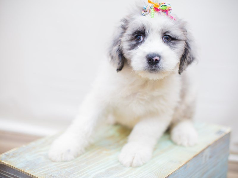 Aussiedoodle-Female-Blue Merle-2352856-Petland Wichita, KS
