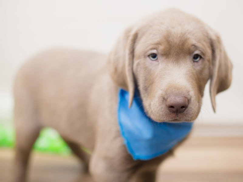 Labrador Retriever-Female-Silver-2352666-Petland Wichita, KS