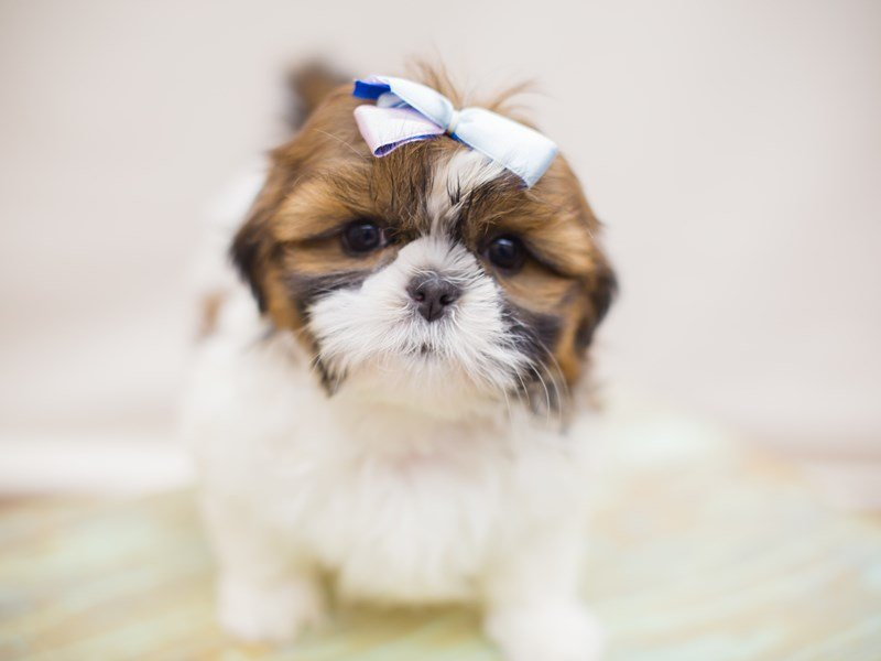 Shih Tzu-Female-Gold and White-2352955-Petland Wichita, KS