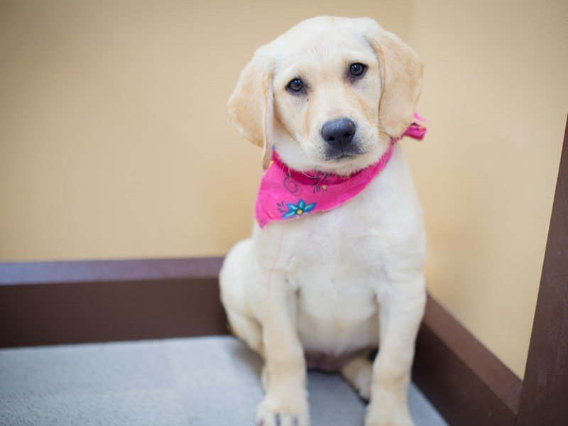 Labrador Retriever-Female-Yellow-2358320-Petland Wichita, KS