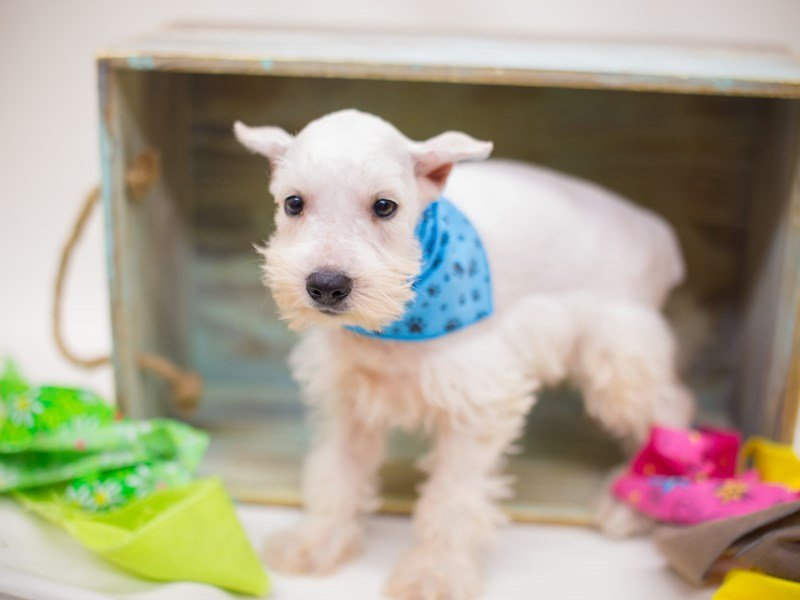 Miniature Schnauzer-Male-White-2363775-Petland Wichita, KS