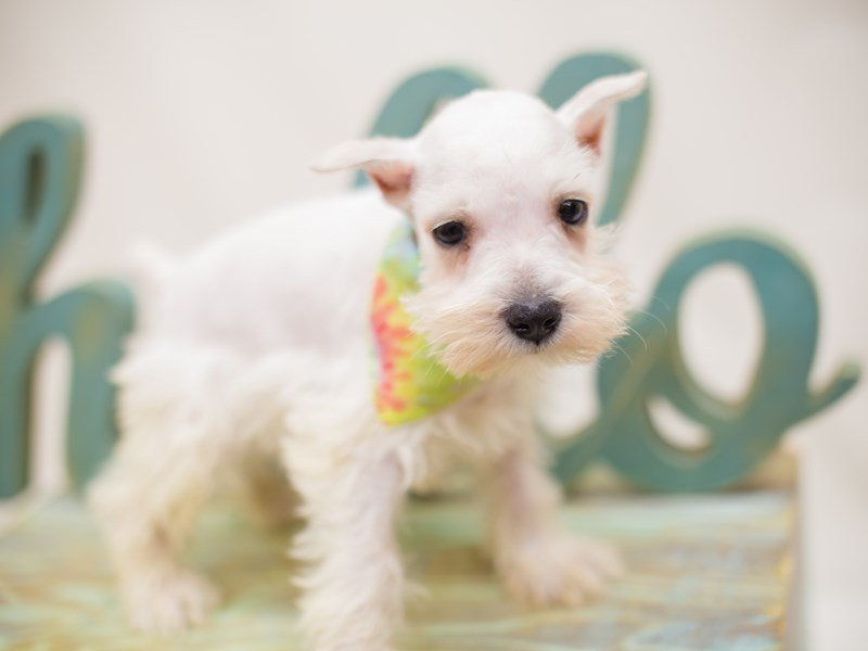 Miniature Schnauzer-Male-White-2363774-Petland Wichita, KS