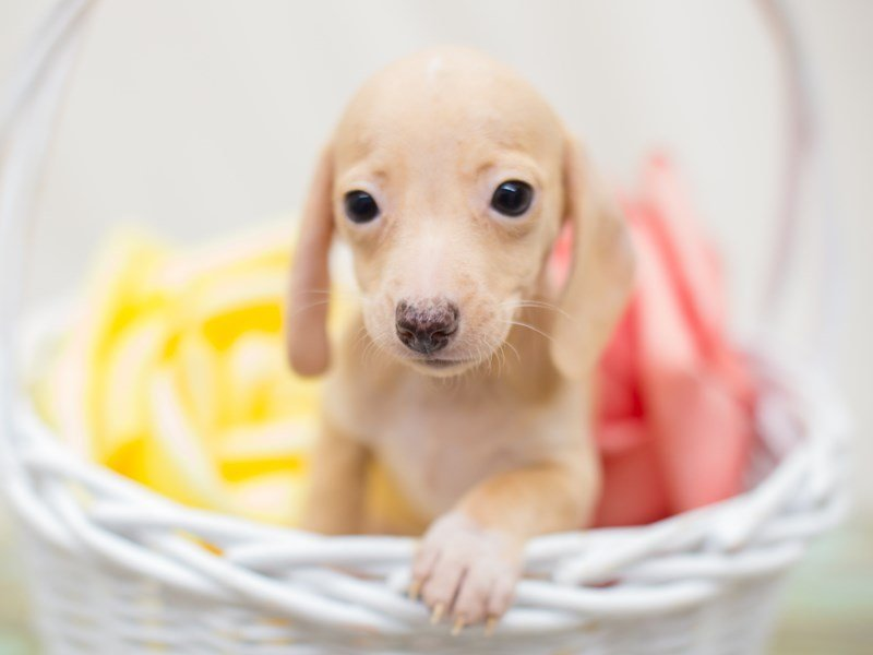 Miniature Dachshund-Female-Cream-2363764-Petland Wichita, KS
