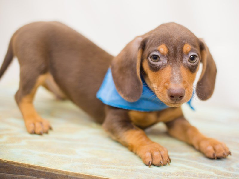Miniature Dachshund-Male-chocolate/tan-2363761-Petland Wichita, KS