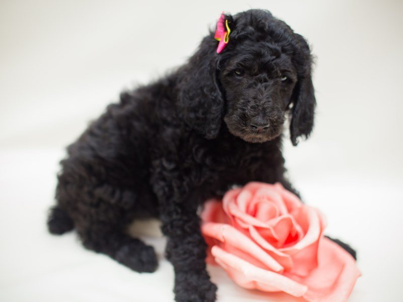 Standard Poodle Dog Female Blue Wwhite Abstract 2363710