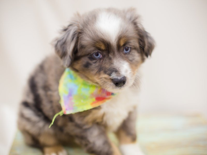 Miniature Australian Shepherd-Male-BLUE MERLE-2363649-Petland Wichita, KS