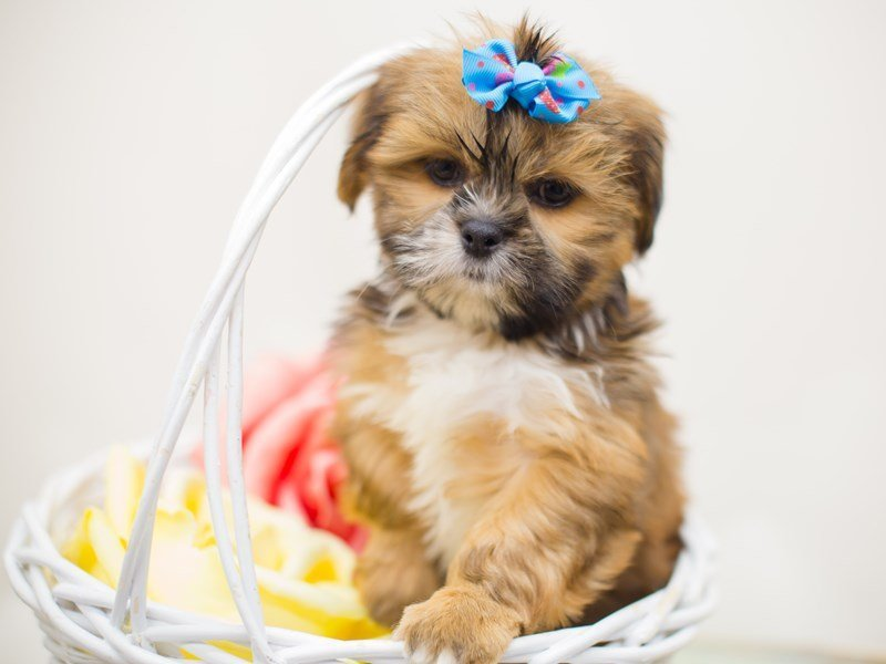 Lhasa Apso-Female-Gold-2363500-Petland Wichita, KS