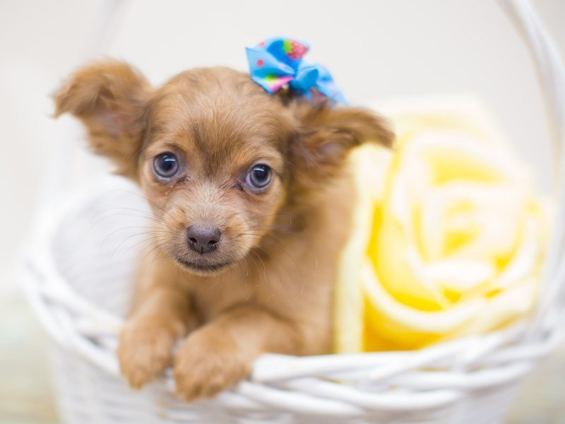 Chihuahua-Female-Long Hair Dark Sable-2363534-Petland Wichita, KS