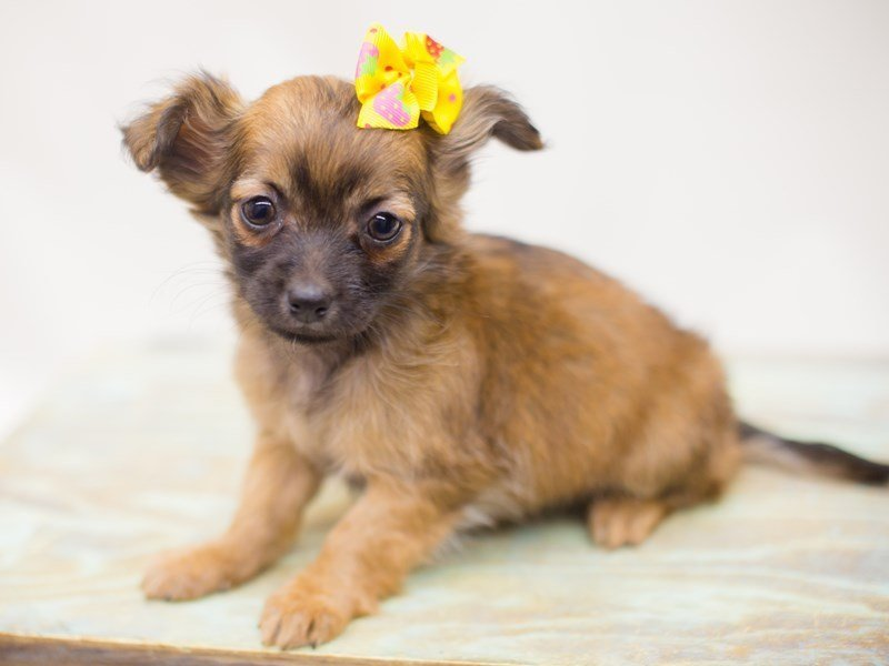 Chihuahua-DOG-Female-Dark Sable-2363548-Petland Wichita, KS